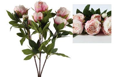 Pivónia Rosa, rosa - 1