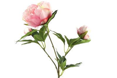 Pivónia, rosa - 1