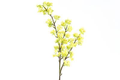 Prunus, žltá - 1